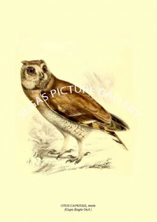 OTUS CAPENSIS, male - Cape Eagle-Owl